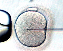 Intra Cytoplasmic Sperm Injection, the sperm is injected in the the centre of the cytoplasm
