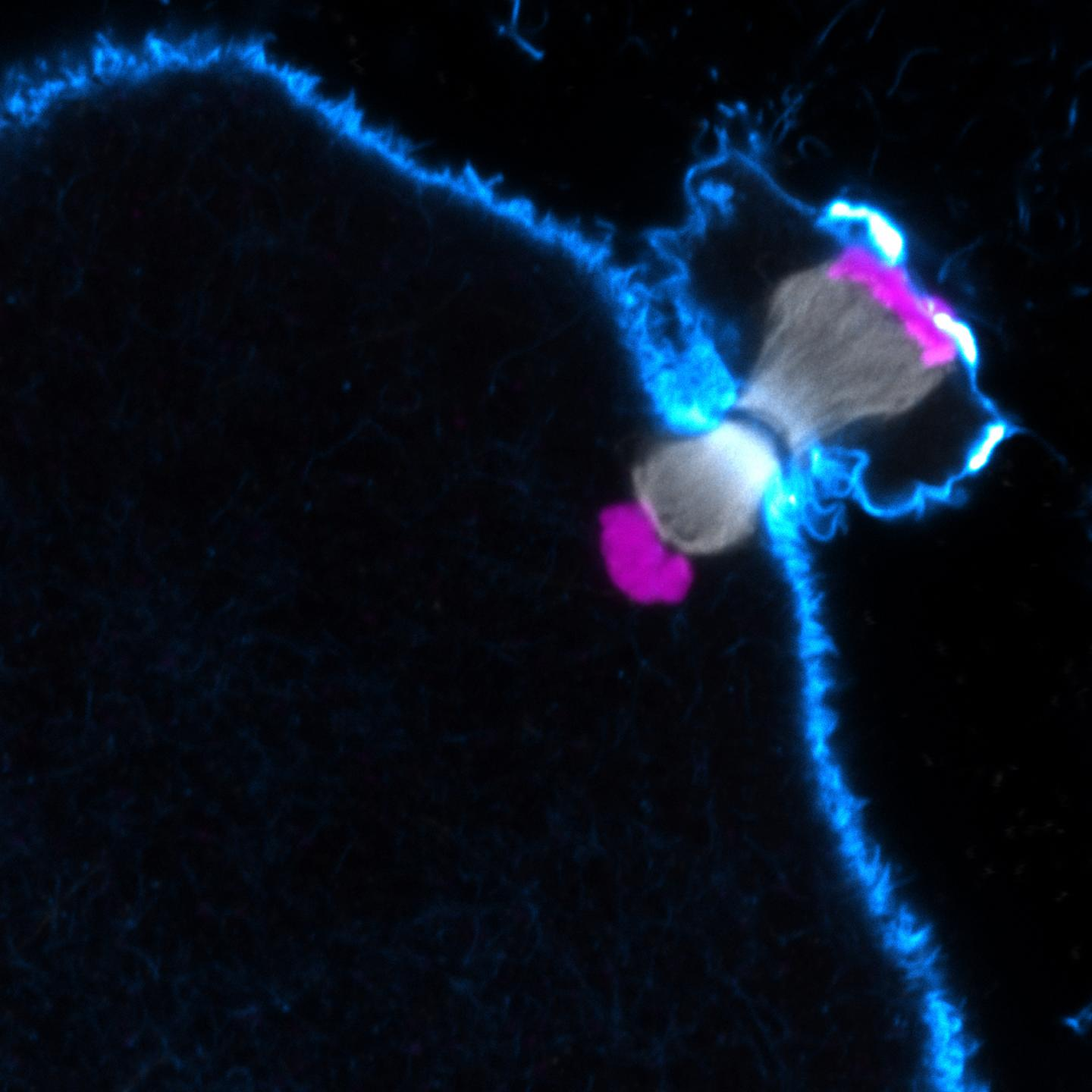 Polar body extrusion in a human oocyte (Actin in cyan; Chromosomes in magenta; Microtubules in grey). This material relates to a paper that appeared in the June 5, 2015 issue of Science, published by AAAS. The paper, by Zuzana Holubcova at the Medical Research Council in Cambridge, UK, and colleagues was titled, 'Error-prone chromosome-mediated spindle assembly favors chromosome segregation defects in human oocytes.'